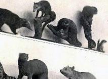 Olinguito exhibido. Detalle de la fotografía del Museo de biología IPN. Década de los años 30